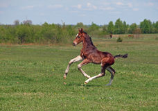 Beautiful bay foal gallops at the field. Beautiful  little bay foal gallops at the summer field Stock Images