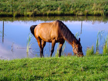 The beautiful bay horse Royalty Free Stock Photos