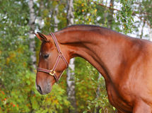 Beautiful bay horse Stock Photography