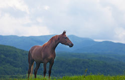 Beautiful bay horse Royalty Free Stock Image