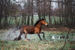 Beautiful bay horse apples with a long mane galloping through the water. Horse runs lifting spray Stock Image