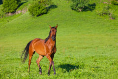 Beautiful bay horse Stock Photo