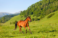 Beautiful bay horse of the Arab breed Stock Image
