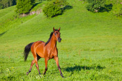 Beautiful bay horse of the Arab breed Royalty Free Stock Photos