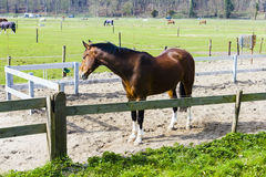 Beautiful bay horse behind a farm fence Royalty Free Stock Images