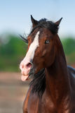 Beautiful bay horse Royalty Free Stock Images