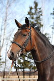 Beautiful bay horse with bridle portrait. Beautiful latvian breed horse portrait with bridle and saddle Stock Photography