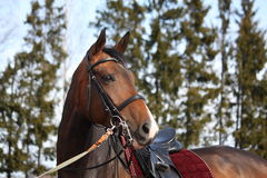 Beautiful bay horse with bridle portrait. Beautiful latvian breed horse portrait with bridle and saddle Royalty Free Stock Image