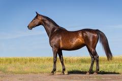 Beautiful bay horse exterior Stock Photo
