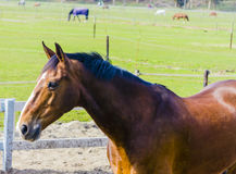 Beautiful bay horse on the farm field Stock Photography