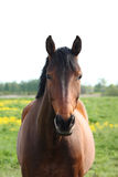 Beautiful bay horse at the field Stock Images