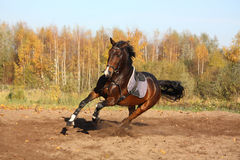 Beautiful bay horse galloping in autumn Stock Photos