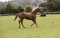 Beautiful bay horse galloping Royalty Free Stock Photography