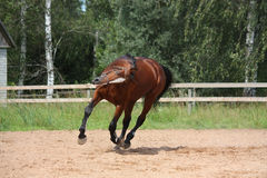 Beautiful bay horse galloping at the field Royalty Free Stock Photo