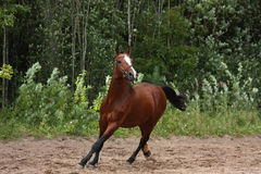 Beautiful bay horse galloping at the field near the forest Stock Photography