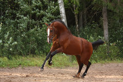 Beautiful bay horse galloping at the field near the forest Royalty Free Stock Photo