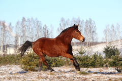 Beautiful bay horse galloping free Stock Photo