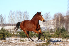 Beautiful bay horse galloping free Stock Image