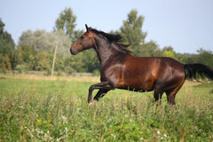 Beautiful bay horse galloping at the pasture. In summer Stock Image