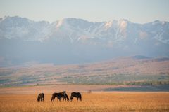 Beautiful bay horse herd grazes in the mountains at sunset, amazing hipster sunny natural background Stock Photos