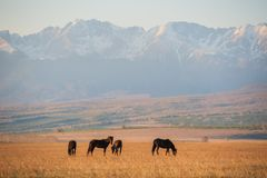 Beautiful bay horse herd grazes in the mountains at sunset, amazing hipster sunny natural background Royalty Free Stock Images