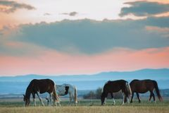 Beautiful bay horse herd grazes in the mountains at sunset, amazing hipster sunny natural background.  stock photography