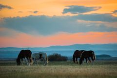 Beautiful bay horse herd grazes in the mountains at sunset, amazing hipster sunny natural background Stock Photo