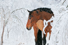 Free Beautiful Bay Horse In Magic Winter Forest Royalty Free Stock Image - 47175826