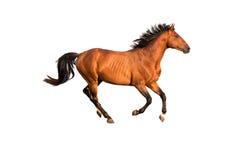 Beautiful bay horse isolated on white background. Bay horse running gallop isolated on white background Stock Photos