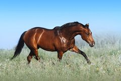 A beautiful bay horse jumps in a field against a blue sky. The exercise of a sports horse. Stallion runs free royalty free stock photography