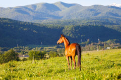 Beautiful bay horse Stock Images