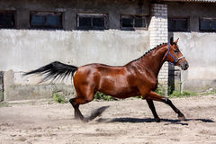 Beautiful bay horse playfully running Royalty Free Stock Image