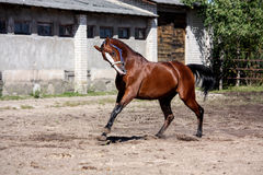 Beautiful bay horse playfully running Stock Photography