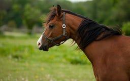 Beautiful bay horse portrait Stock Image
