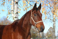 Beautiful bay horse portrait in autumn Royalty Free Stock Image