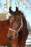 Beautiful bay horse portrait in autumn Royalty Free Stock Photo