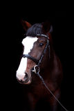 Beautiful bay horse portrait on black background Stock Image