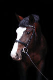 Beautiful bay horse portrait on black background Royalty Free Stock Photography