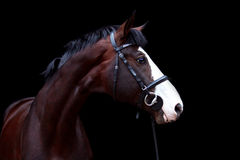 Beautiful bay horse portrait on black background Stock Photography