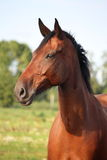Beautiful bay horse portrait in summer Stock Image