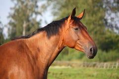 Beautiful bay horse portrait in summer Stock Photo