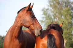 Beautiful bay horse portrait in summer Stock Images