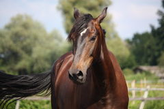 Beautiful bay horse portrait on sunny day Stock Photography
