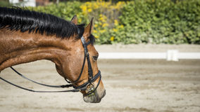 Beautiful bay horse Royalty Free Stock Photo