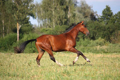 Beautiful bay horse running at the field Stock Photos