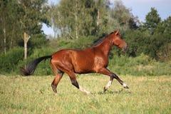Beautiful bay horse running at the field Stock Photos