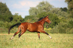 Beautiful bay horse running at the field Royalty Free Stock Photo