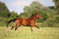 Beautiful bay horse running at the field Royalty Free Stock Photo