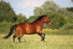 Beautiful bay horse running at the field Stock Photo
