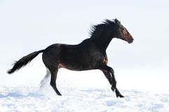 Beautiful bay horse running in winter Stock Images